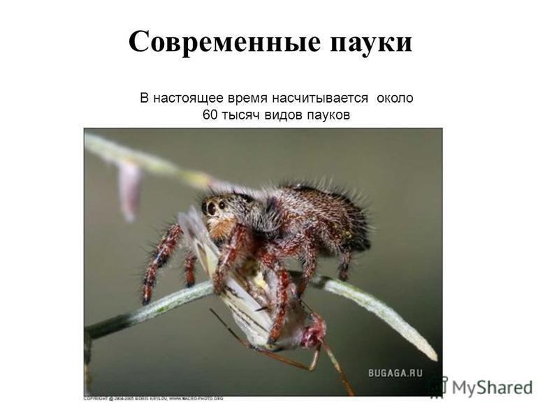 Современные пауки В настоящее время насчитывается около 60 тысяч видов пауков