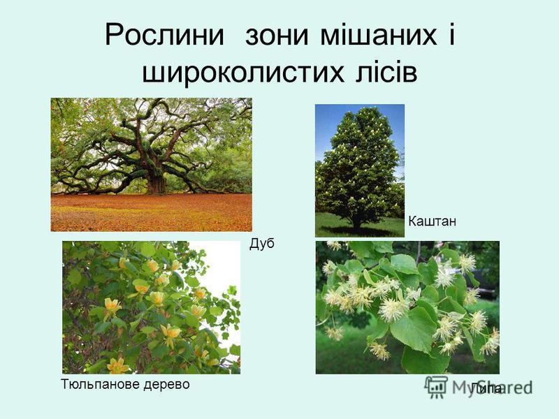 Рослини зони мішаних і широколистих лісів Дуб Липа Тюльпанове дерево Каштан
