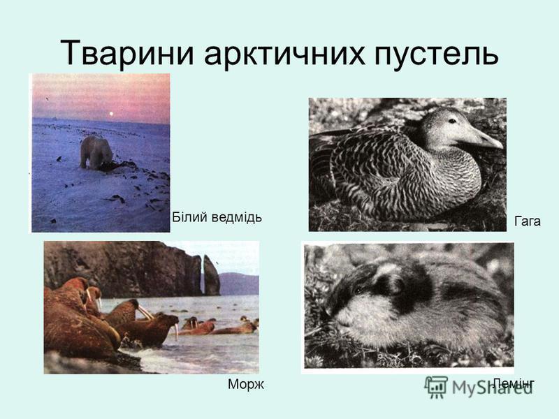Тварини арктичних пустель Білий ведмідь Гага Лемінг Морж