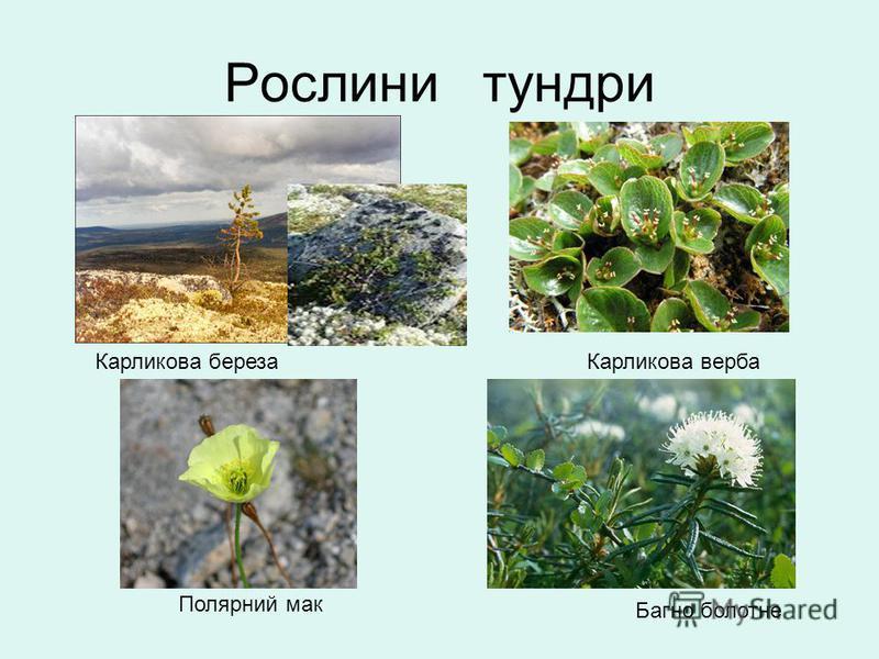 Рослини тундри Багно болотне Полярний мак Карликова березаКарликова верба
