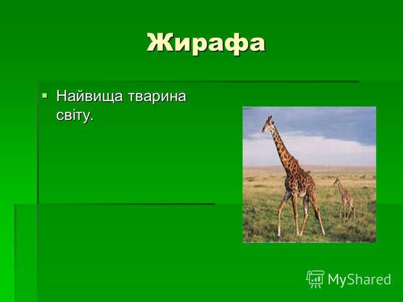 Жирафа Жирафа Найвища тварина світу. Найвища тварина світу.