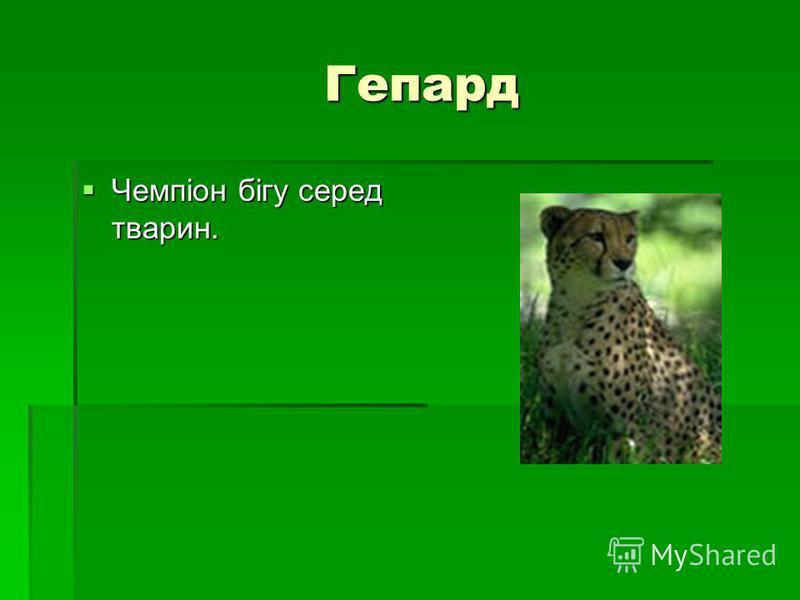 Гепард Гепард Чемпіон бігу серед тварин. Чемпіон бігу серед тварин.