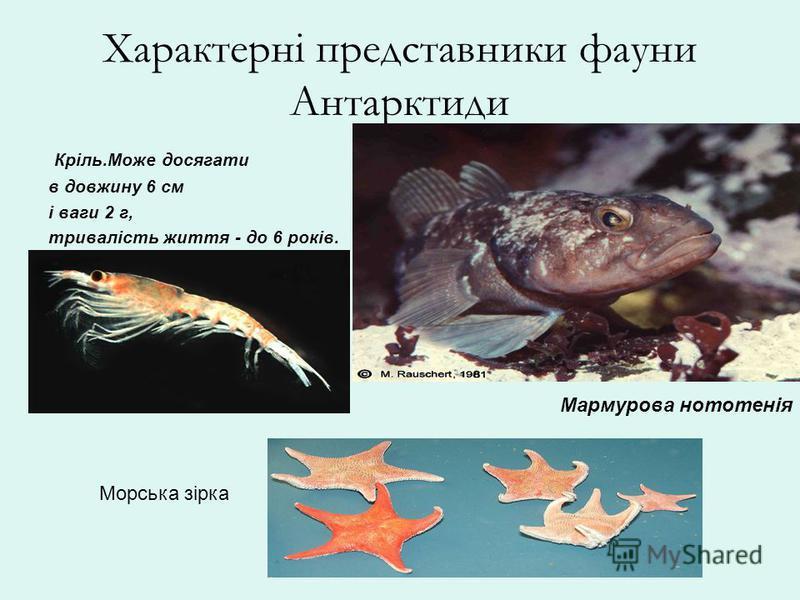 Характерні представники фауни Антарктиди Кріль.Може досягати в довжину 6 см і ваги 2 г, тривалість життя - до 6 років. Мармурова нототенія Морська зірка