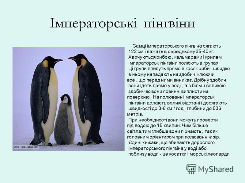 Імператорські пінгвіни Самці імператорського пінгвіна сягають 122 см і важать в середньому 35-40 кг. Харчуються рибою, кальмарами і крилем Імператорські пінгвіни полюють в групах. Ці групи пливуть прямо в косяк риби і швидко в ньому нападають на здоб
