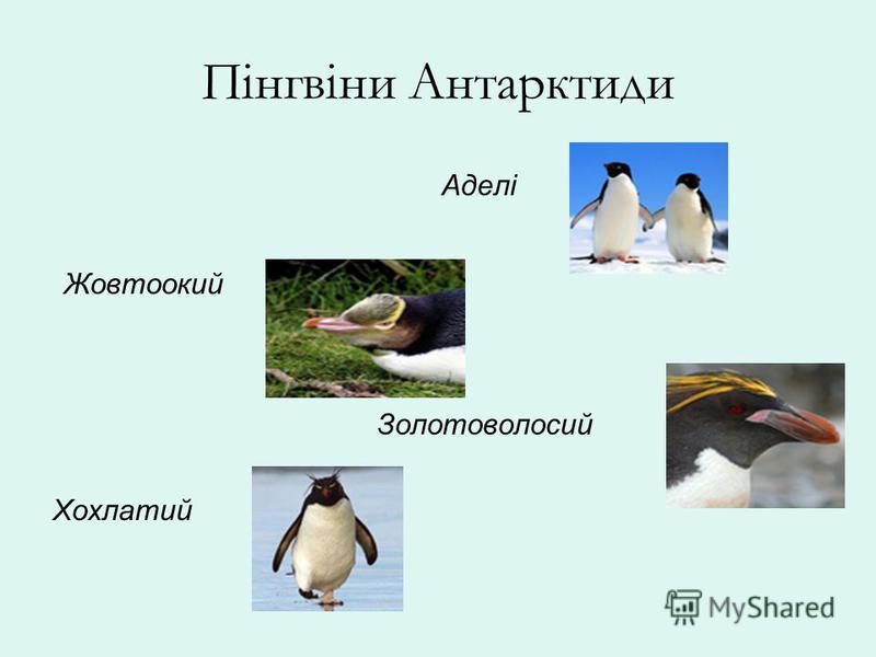 Пінгвіни Антарктиди Аделі Жовтоокий Золотоволосий Хохлатий