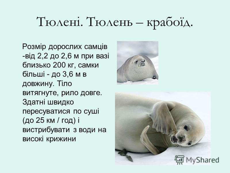 Тюлені. Тюлень – крабоїд. Розмір дорослих самців -від 2,2 до 2,6 м при вазі близько 200 кг, самки більші - до 3,6 м в довжину. Тіло витягнуте, рило довге. Здатні швидко пересуватися по суші (до 25 км / год) і вистрибувати з води на високі крижини