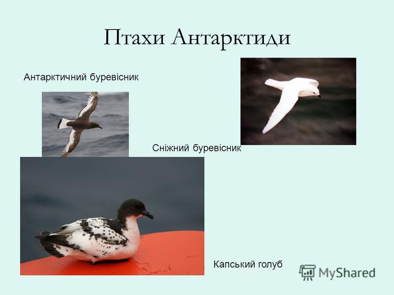 Птахи Антарктиди Антарктичний буревісник Сніжний буревісник Капський голуб