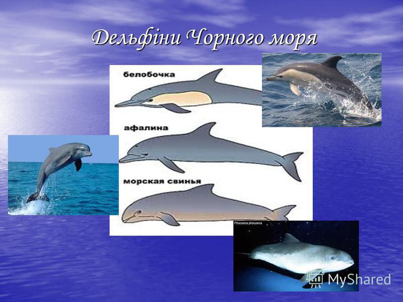 Дельфіни Чорного моря Дельфіни Чорного моря