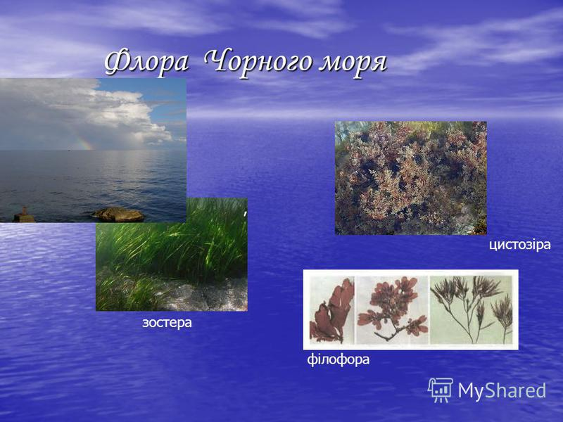 Флора Чорного моря Флора Чорного моря цистозіра філофора, зостера