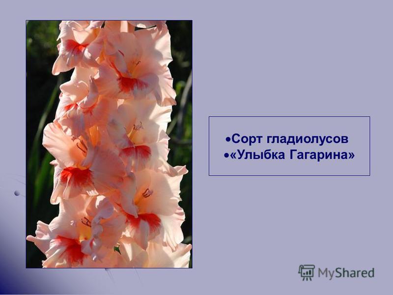 Сорт гладиолусов «Улыбка Гагарина»
