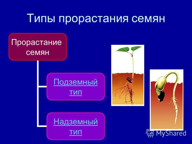 Типы прорастания семян Прорастание семян Подземный тип Надземный тип