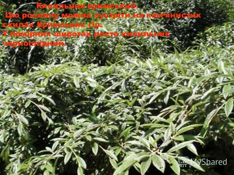 Кизильник кримський. Цю рослину можна зустріти на камянистих схилах Кримських гір. У помірних широтах росте кизильник чорноплідний.