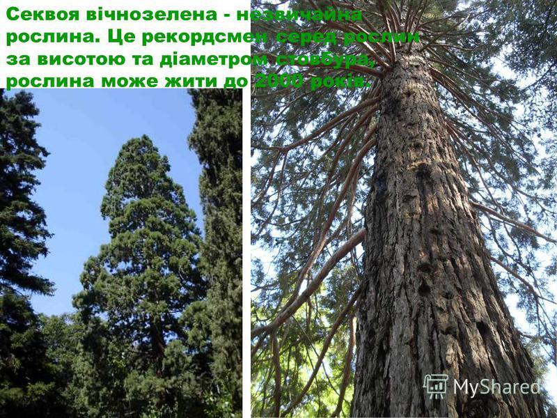 Секвоя вічнозелена - незвичайна рослина. Це рекордсмен серед рослин за висотою та діаметром стовбура, рослина може жити до 2000 років.