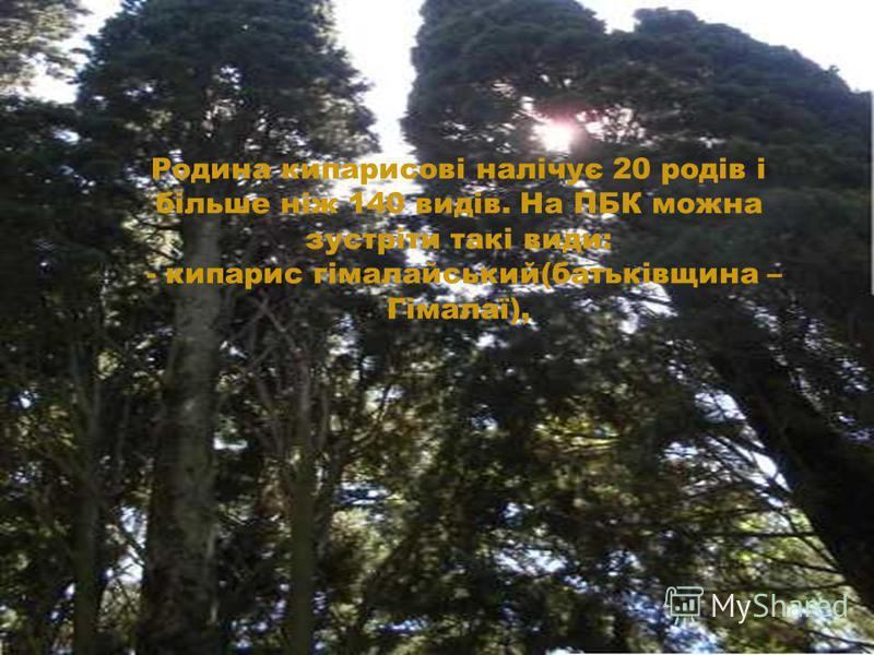 Родина кипарисові налічує 20 родів і більше ніж 140 видів. На ПБК можна зустріти такі види: - кипарис гімалайський(батьківщина – Гімалаї),