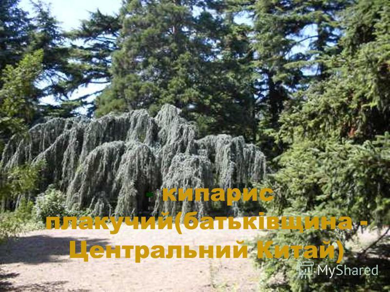- кипарис плакучий(батьківщина - Центральний Китай)