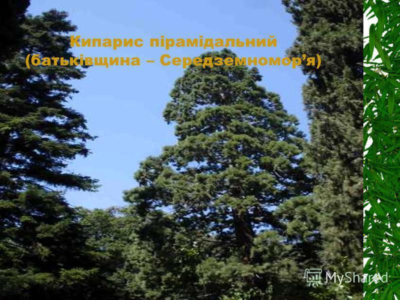 Кипарис пірамідальний (батьківщина – Середземноморя)