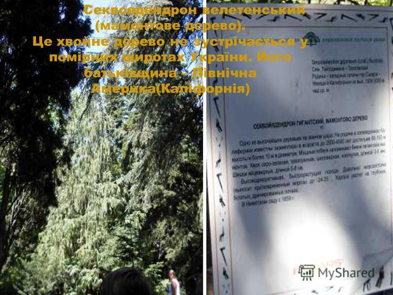 Секвоядендрон велетенський (мамонтове дерево). Це хвойне дерево не зустрічається у помірних широтах України. Його батьківщина – Північна Америка(Каліфорнія)