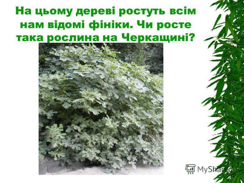 На цьому дереві ростуть всім нам відомі фініки. Чи росте така рослина на Черкащині?
