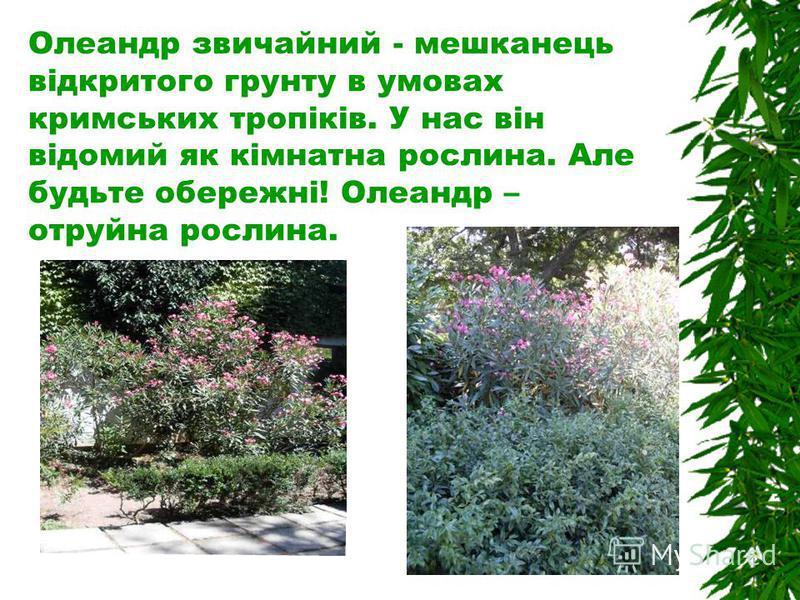 Олеандр звичайний - мешканець відкритого грунту в умовах кримських тропіків. У нас він відомий як кімнатна рослина. Але будьте обережні! Олеандр – отруйна рослина.