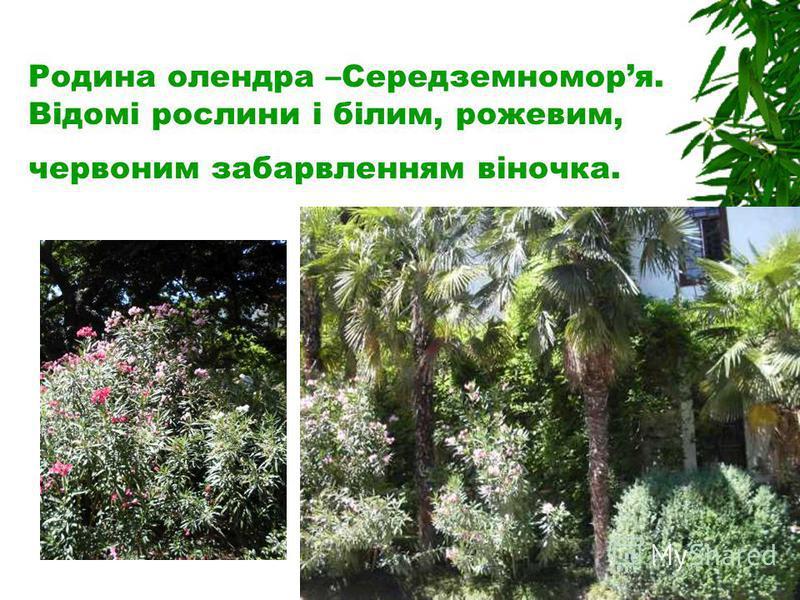 Родина олендра –Середземноморя. Відомі рослини і білим, рожевим, червоним забарвленням віночка.