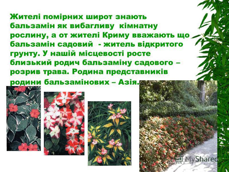 Жителі помірних широт знають бальзамін як вибагливу кімнатну рослину, а от жителі Криму вважають що бальзамін садовий - житель відкритого грунту. У нашій місцевості росте близький родич бальзаміну садового – розрив трава. Родина представників родини