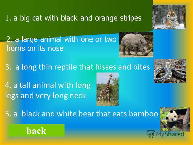 back 1. a big cat with black and orange stripes 2. a large animal with one or two horns on its nose 3. a long thin reptile that hisses and bites 4. a tall animal with long legs and very long neck 5. a black and white bear that eats bamboo