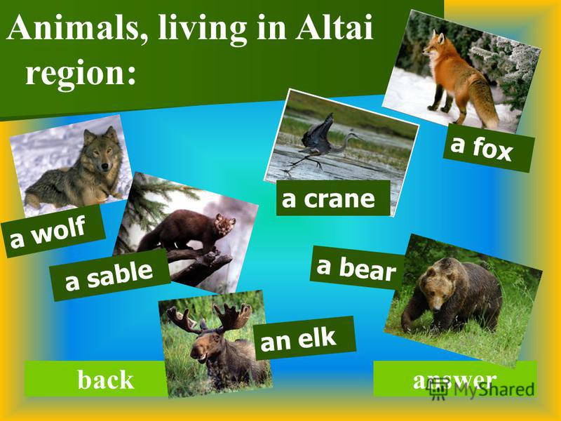backanswer Animals, living in Altai region: a wolf a sable an elk a crane a bear a fox