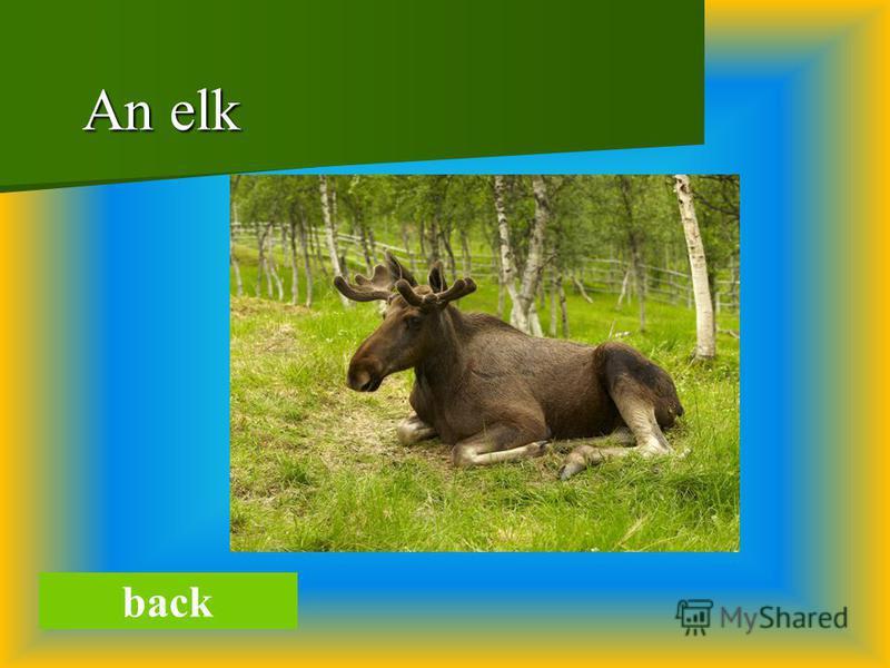 An elk An elk back