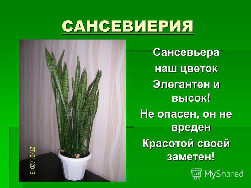 САНСЕВИЕРИЯ Сансевьера наш цветок Элегантен и высок! Не опасен, он не вреден Красотой своей заметен!