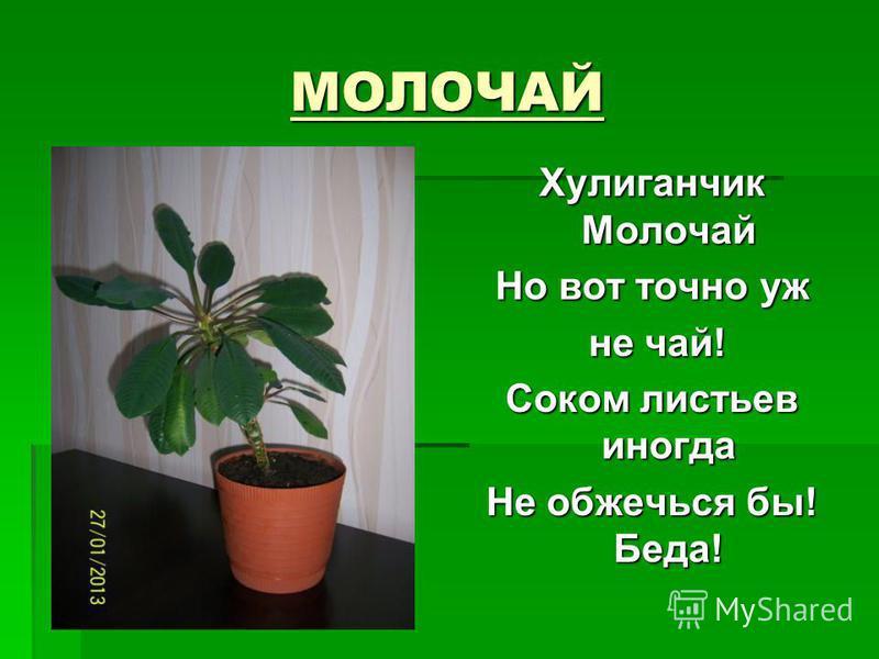 МОЛОЧАЙ Хулиганчик Молочай Но вот точно уж не чай! не чай! Соком листьев иногда Не обжечься бы! Беда!