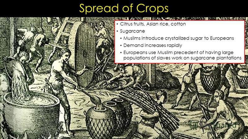 Spread of Crops Citrus fruits, Asian rice, cotton Sugarcane Muslims introduce crystallized sugar to Europeans Demand increases rapidly Europeans use Muslim precedent of having large populations of slaves work on sugarcane plantations