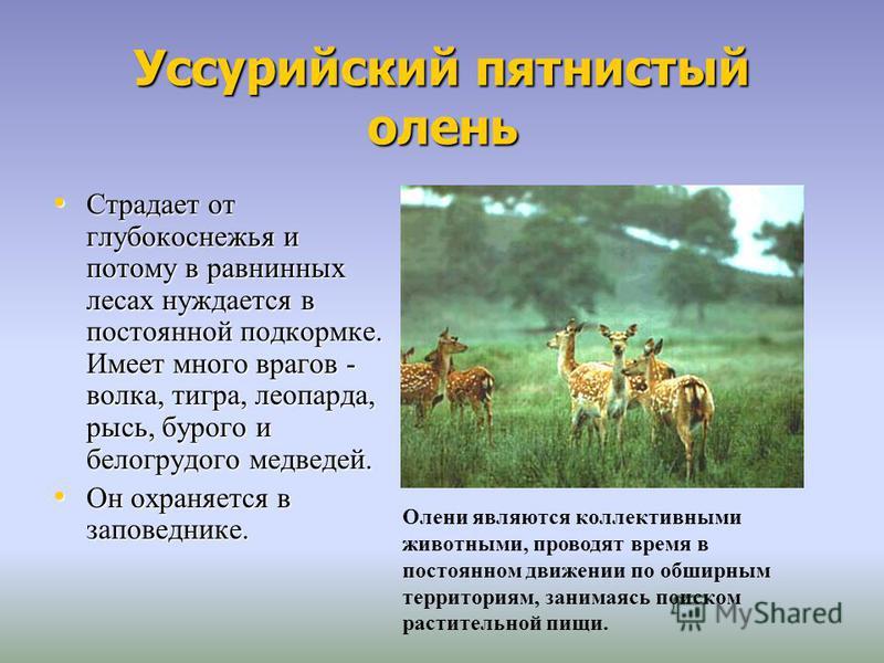 Уссурийский пятнистый олень Страдает от глубокоснежья и потому в равнинных лесах нуждается в постоянной подкормке. Имеет много врагов - волка, тигра, леопарда, рысь, бурого и белогрудого медведей. Страдает от глубокоснежья и потому в равнинных лесах