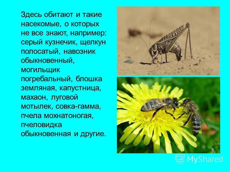Здесь обитают и такие насекомые, о которых не все знают, например: серый кузнечик, щелкун полосатый, навозник обыкновенный, могильщик погребальный, блошка земляная, капустница, махаон, луговой мотылек, совка-гамма, пчела мохнатоногая, пчеловидка обык