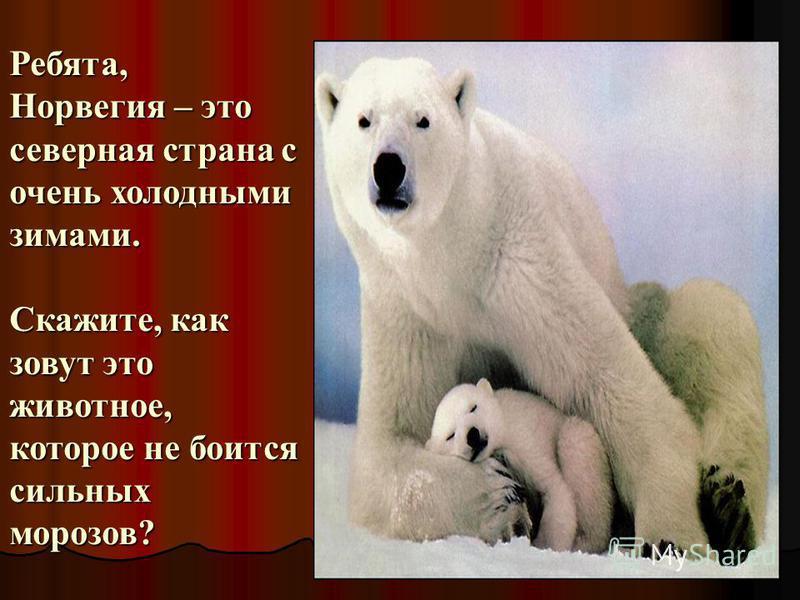 Ребята, Норвегия – это северная страна с очень холодными зимами. Скажите, как зовут это животное, которое не боится сильных морозов?