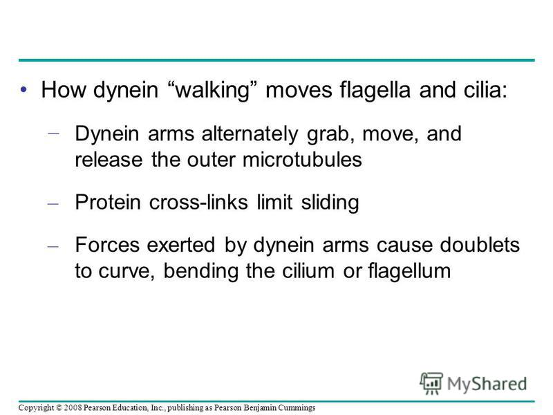 How dynein walking moves flagella and cilia: Dynein arms alternately grab, move, and release the outer microtubules – Protein cross-links limit sliding – Forces exerted by dynein arms cause doublets to curve, bending the cilium or flagellum Copyright