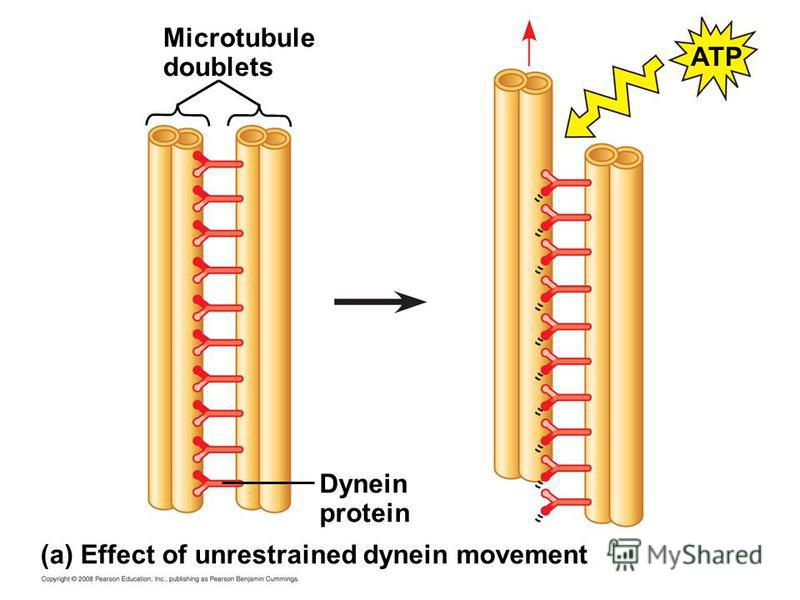 Microtubule doublets Dynein protein (a) Effect of unrestrained dynein movement ATP