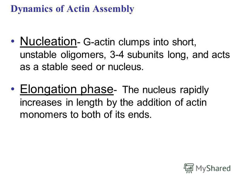 Nucleation - G-actin clumps into short, unstable oligomers, 3-4 subunits long, and acts as a stable seed or nucleus. Elongation phase - The nucleus rapidly increases in length by the addition of actin monomers to both of its ends. Dynamics of Actin A