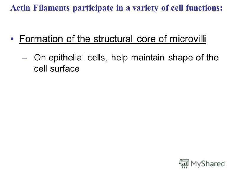 Formation of the structural core of microvilli – On epithelial cells, help maintain shape of the cell surface Actin Filaments participate in a variety of cell functions: