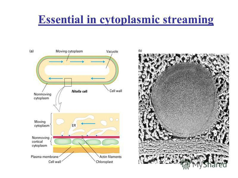 Essential in cytoplasmic streaming