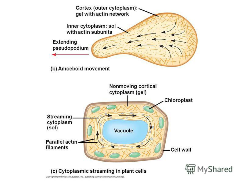 Cortex (outer cytoplasm): gel with actin network Inner cytoplasm: sol with actin subunits Extending pseudopodium (b) Amoeboid movement Nonmoving cortical cytoplasm (gel) Chloroplast Cell wall Streaming cytoplasm (sol) Parallel actin filaments (c) Cyt