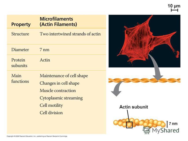 Actin subunit 10 µm 7 nm