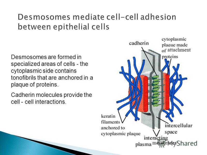 attachment membranes Desmosomes are formed in specialized areas of cells - the cytoplasmic side contains tonofibrils that are anchored in a plaque of proteins. Cadherin molecules provide the cell - cell interactions.