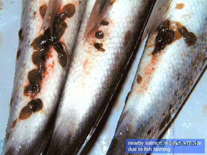 nearby salmon infested with lice due to fish farming