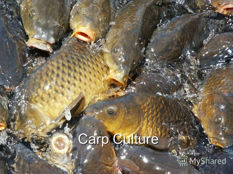 Carp Culture