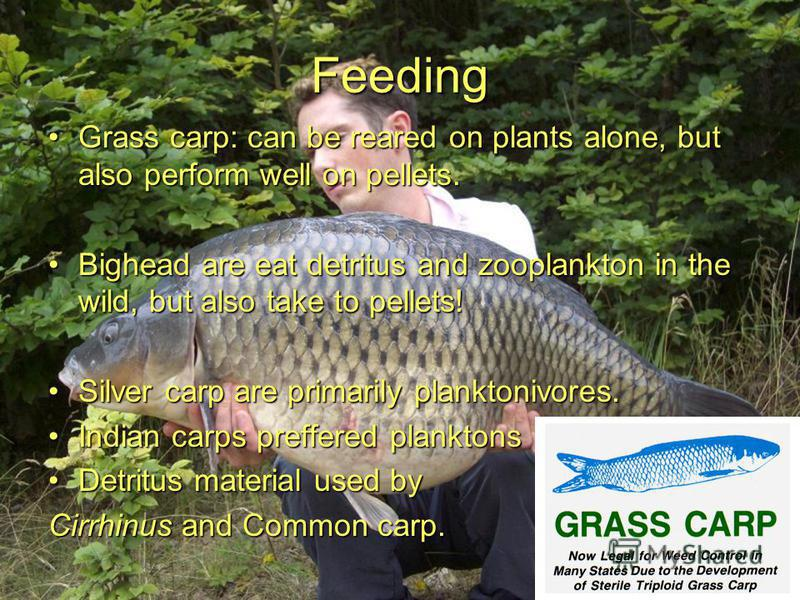 Feeding Grass carp: can be reared on plants alone, but also perform well on pellets.Grass carp: can be reared on plants alone, but also perform well on pellets. Bighead are eat detritus and zooplankton in the wild, but also take to pellets!Bighead ar