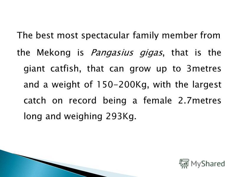 The best most spectacular family member from the Mekong is Pangasius gigas, that is the giant catfish, that can grow up to 3metres and a weight of 150-200Kg, with the largest catch on record being a female 2.7metres long and weighing 293Kg.