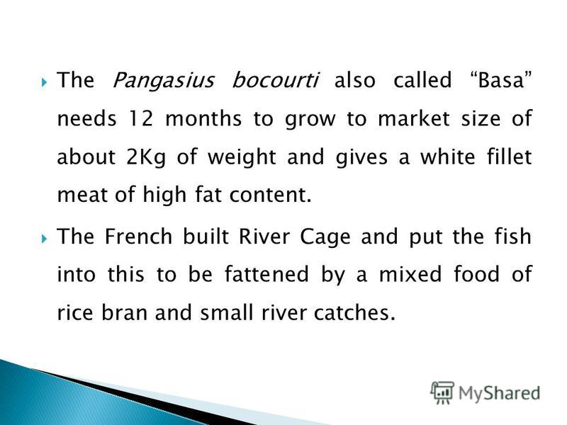 The Pangasius bocourti also called Basa needs 12 months to grow to market size of about 2Kg of weight and gives a white fillet meat of high fat content. The French built River Cage and put the fish into this to be fattened by a mixed food of rice bra