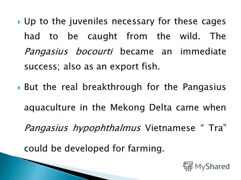 Up to the juveniles necessary for these cages had to be caught from the wild. The Pangasius bocourti became an immediate success; also as an export fish. But the real breakthrough for the Pangasius aquaculture in the Mekong Delta came when Pangasius