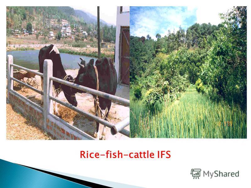 Rice-fish-cattle IFS