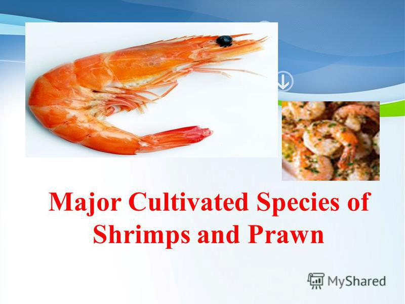 Powerpoint Templates Page 1 Powerpoint Templates Major Cultivated Species of Shrimps and Prawn